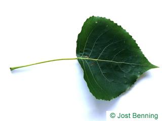 The треугольный leaf of Тополь черный