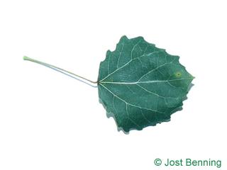 The кругловатый leaf of Тополь дрожащий