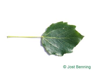 The овальный leaf of Тополь серебристый