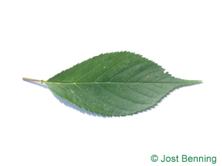 The овальный leaf of Черешня