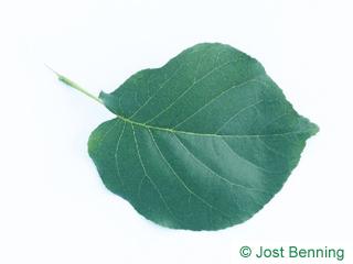 The овальный leaf of Bird Cherry