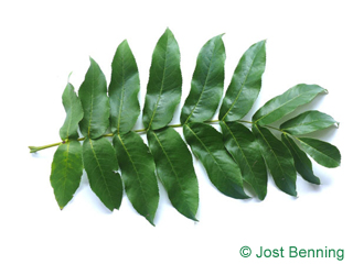 The сложный leaf of Лапина