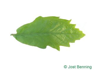 The выгнутый leaf of Дуб двухцветный