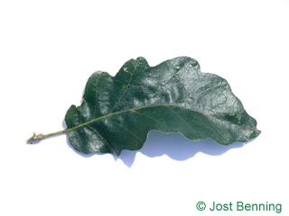 The выгнутый leaf of Дуб австрийский
