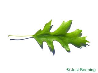 The выгнутый leaf of Дуб американский шарлаховый