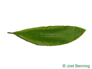 The ланцетный leaf of Дуб черепитчатый