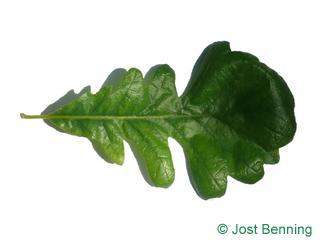 The выгнутый leaf of Дуб крупноплодный