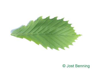 The овальный leaf of Дуб монгольский