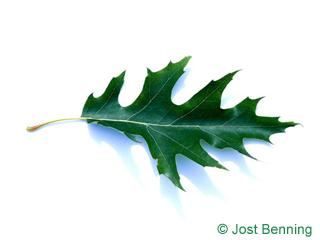 The выгнутый leaf of Дуб болотный