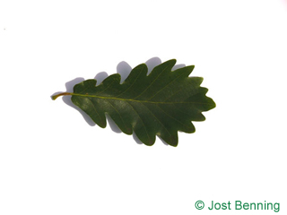 The выгнутый leaf of Дуб скальный