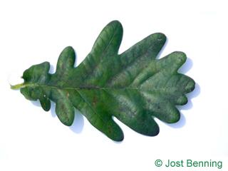 The выгнутый leaf of Дуб черешчатый