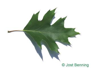 The выгнутый leaf of Дуб красный