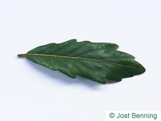 The выгнутый leaf of Дуб вечнозеленый