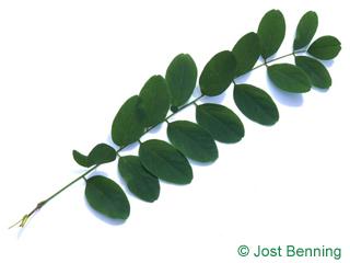 The сложный leaf of Робиния ложноакациевая