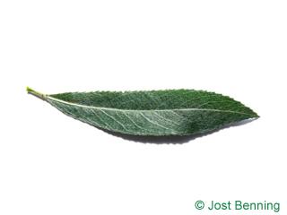 The ланцетный leaf of Ива белая