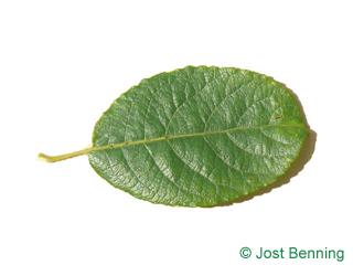 The овальный leaf of Ива козья