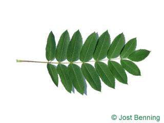 The сложный leaf of Рябина американская