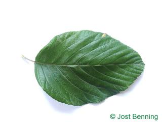 The овальный leaf of Рябина круглолистная