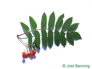 The сложный leaf of Рябина обыкновенная