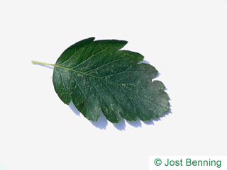 The овальный leaf of Рябина шведская