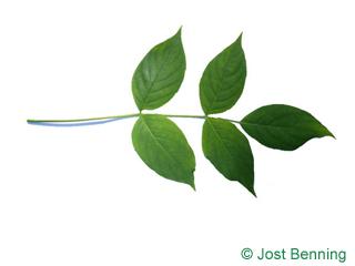 The сложный leaf of Стафилея американская