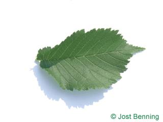 The овальный leaf of Вяз шершавый